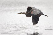 Great Blue Heron In Flight With Wings Down Over Shoreline Lake