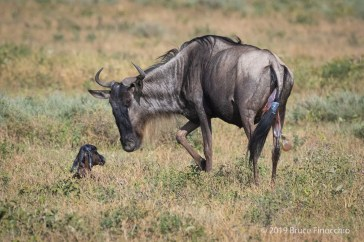 Mother Blue Wildebeest Greets Her Newborn Calf For The First Time