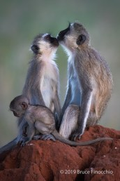 Vervet Monkey Family Gathers Together On A Termite Mound