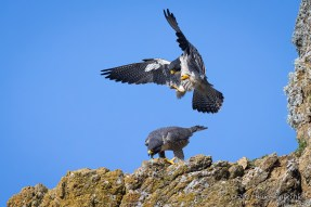 A Male Peregrine Falcon Descends To Female As She Calls Him Down To Mate