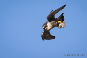 A Peregrine Falcon In A Steep Dive With A Caught Gull In Its Talons
