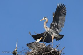 Male Great Blue Heron Landing With Female In The Nest