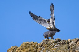 While High On A Cliff Ledge, A Female Peregrine Falcon Calls Out And Bends Over As The Male Prepares To Mate
