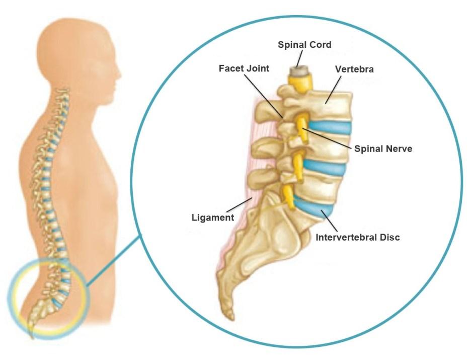 lumbar-spine(1) | Dreamclinic Massage in Seattle, Bellevue, Redmond