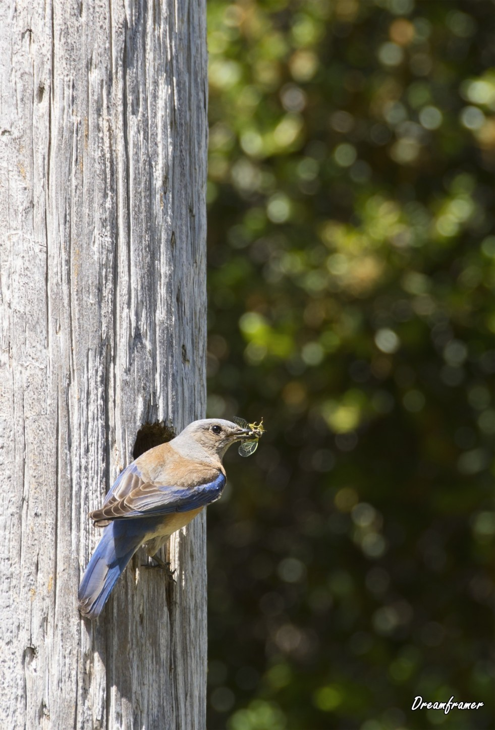 Female Western Bluebird - ©Dreamframer