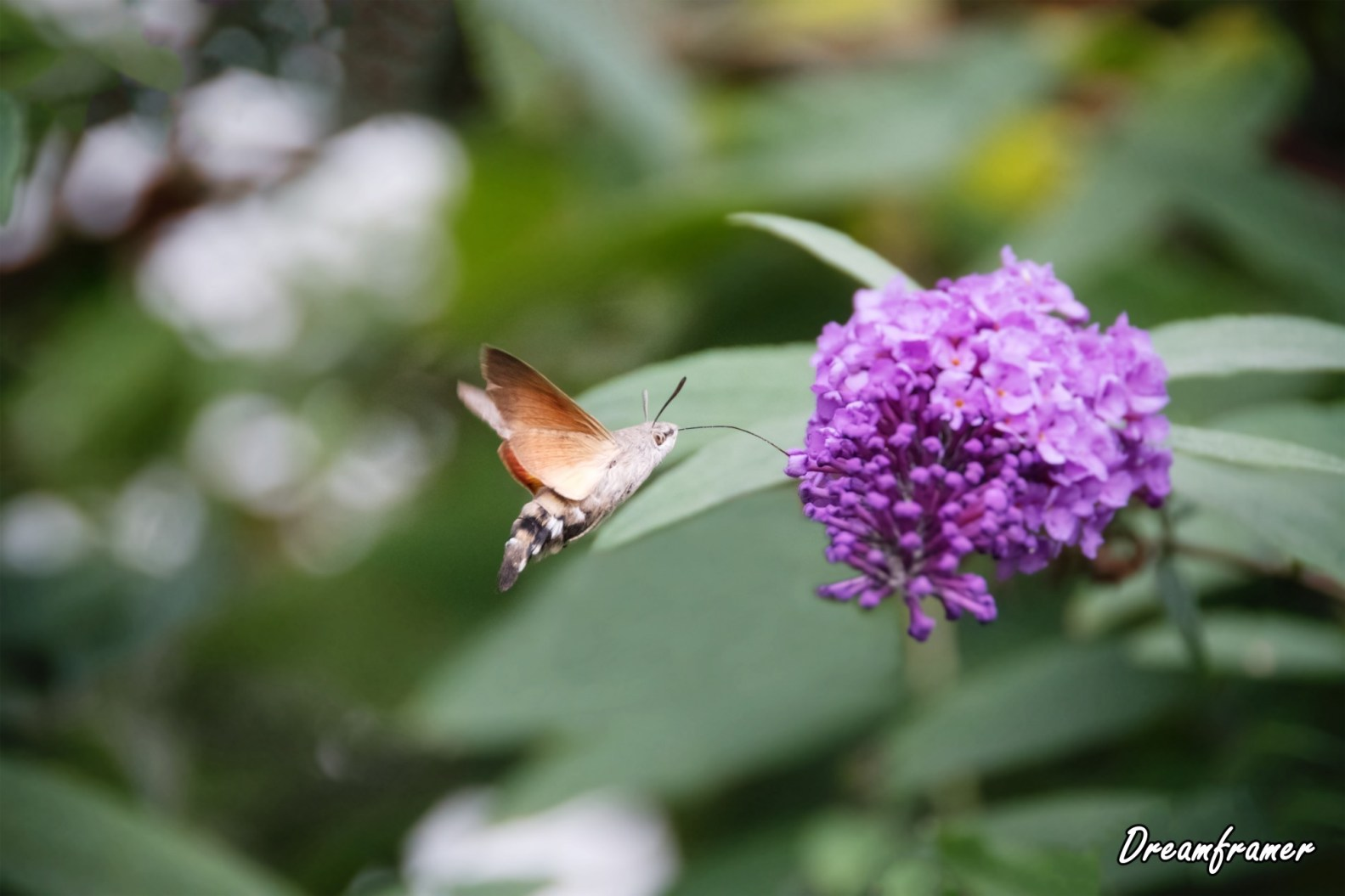 Hummingbird Hawk-moth - ©Dreamframer
