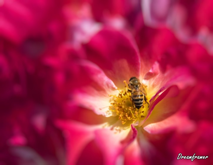 Honey Bee - ©Dreamframer