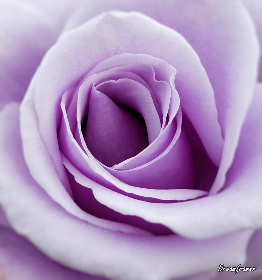 Purple Rose - ©Dreamframer
