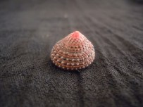Clanculus pharaonius (Strawberry topshell)