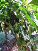 Al Khaly Farms 10 - Noni Tree
