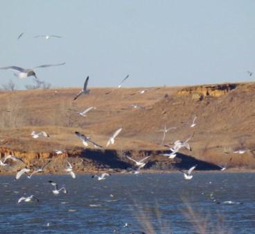 gull craze