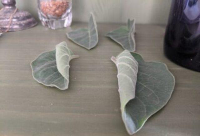 Datura leaves