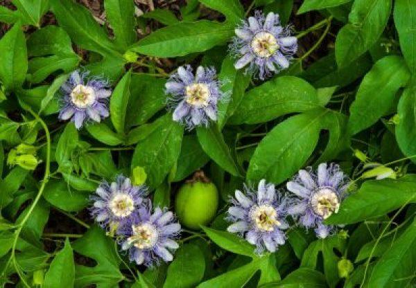 Passionflower for Sleep (Passiflora incarnata)