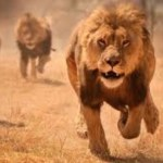 Chased by lions