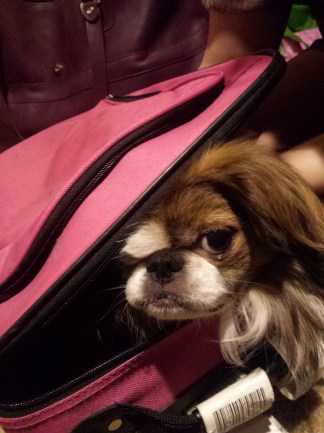Japanese Chin in a pink suitcase