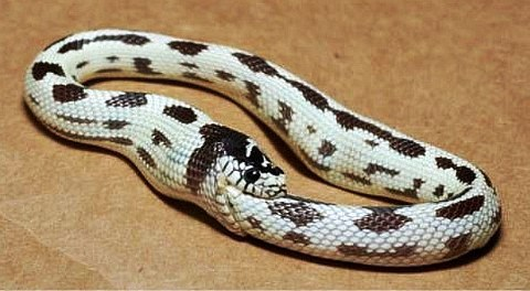 Image result for snake eating its tail pictures