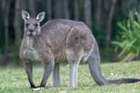 Manly Kangaroo