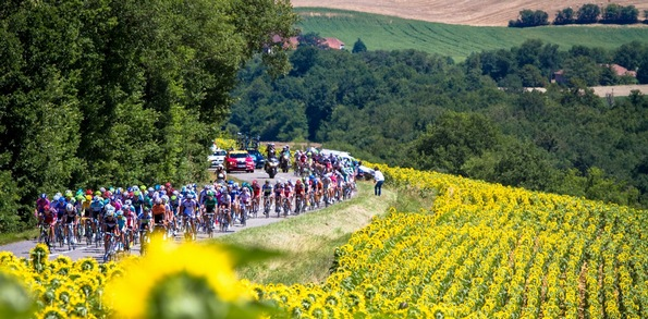 Tour-de-France-Sunflowers