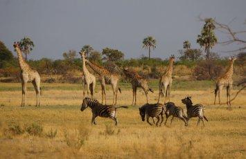 Zebras galoppieren, Giraffen schauen entspannt zu