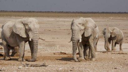 Elefanentrupp (mit reichlich Schlamm bedeckt)