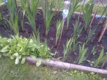 Gladioli now starting to grow taller
