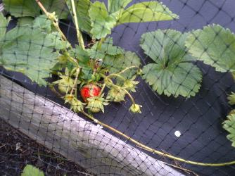 Strawberries just beginning to ripen