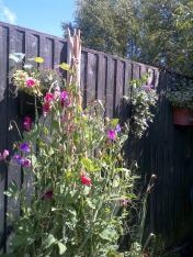 Garden Sweet-peas