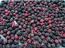 Blackberries laid out ready to freeze.