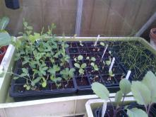 Sweetpeas and Red cabbage Leeks coming through