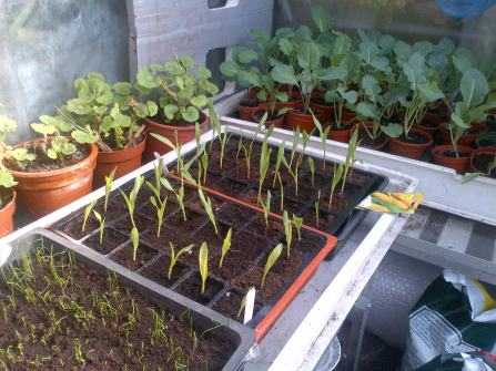 Seedlings of Cabbage, Cauliflower doing well