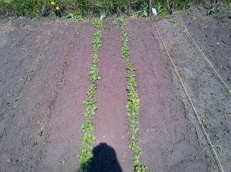 Turnips before I thinned them