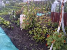 The Kidney Beans are now much more mature than you see here.. And I got my first pickings off of them this week..
