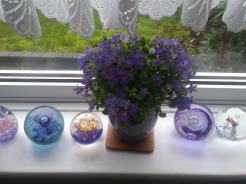 Campanula.. on my window ledge
