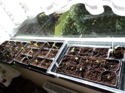 Sweetcorn and Butternut Squash are up in the spare bedroom.. Each window sill is a hive of growth :-)