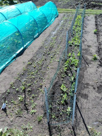 The Peas have now been netted with wire to help them climb, I planted seeds where they had missed and they are now coming through.. To the left you can just see the beetroots coming . When they get bigger I will weed between them