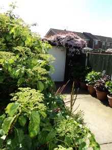 Hydrangea in the foreground Clematis on the garage