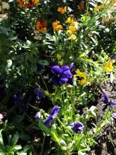 Wallflowers and Pansies