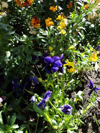 Wallflowers and Pansies