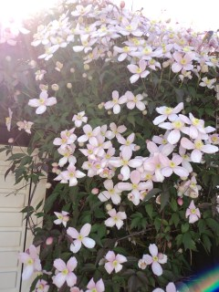 Clematis Montana. This is now around 15 yrs old