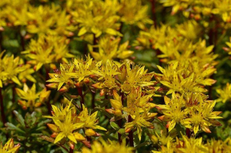 Stonecrop (Sedum) - Flowers to Add to Your Bee Garden