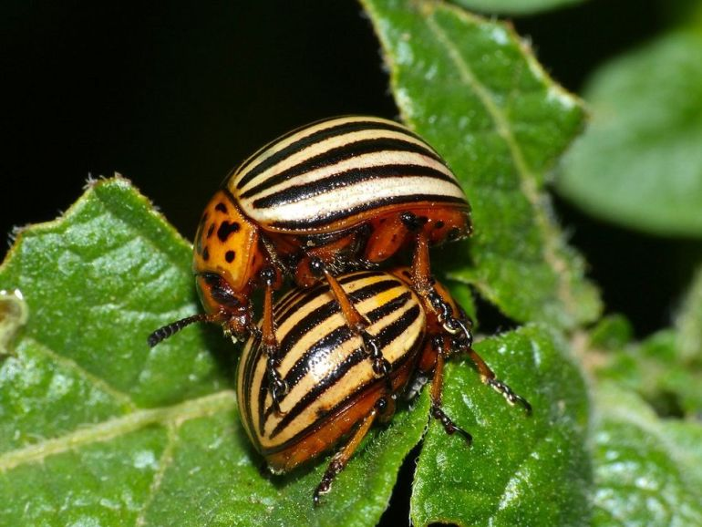 Colorado Potato Beetle - Harmful Garden Insects To Watch Out For