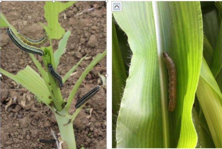 African Armyworm (Spodoptera exempta)
