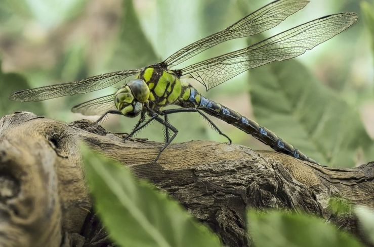 Dragonfly Benefits to Your Garden and How to Attract Them