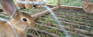 Rabbit Farming (Cuniculture)