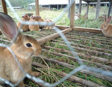 Rabbit Farming (Cuniculture)