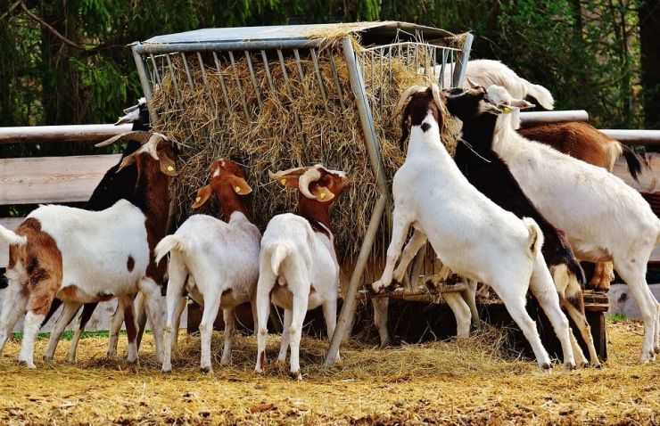 Goat Farming: Guide on Raising Meat Goats - Capra aegagrus hircus