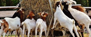 Goat Farming: Guide on Raising Meat Goats