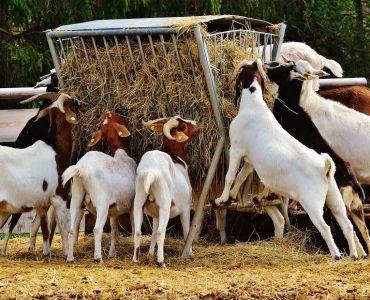 Goat Farming: Guide on Raising Meat Goats - Capra aegagrus hircus