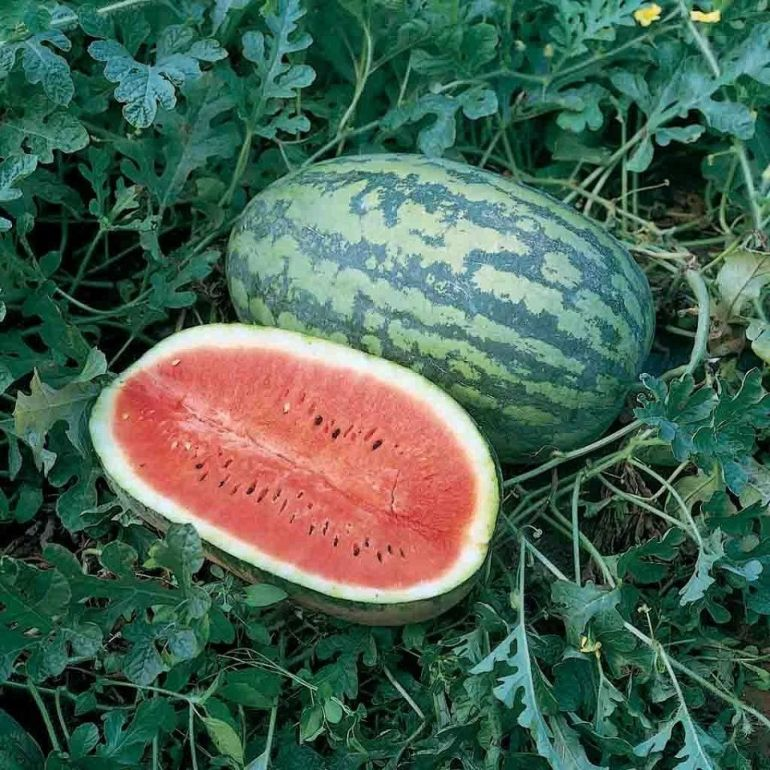 Georgia Rattlesnake melon