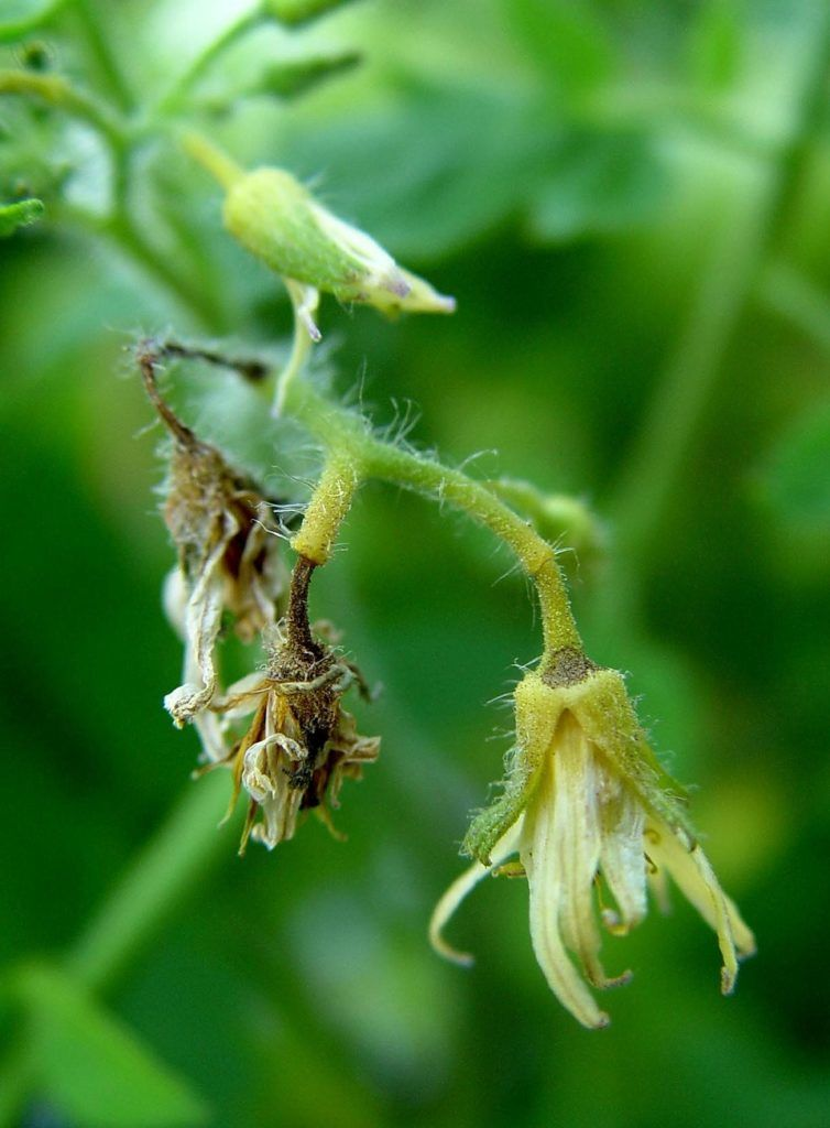 Blossom Drop - Tomato Diseases
